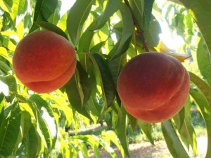 peaches-sentry