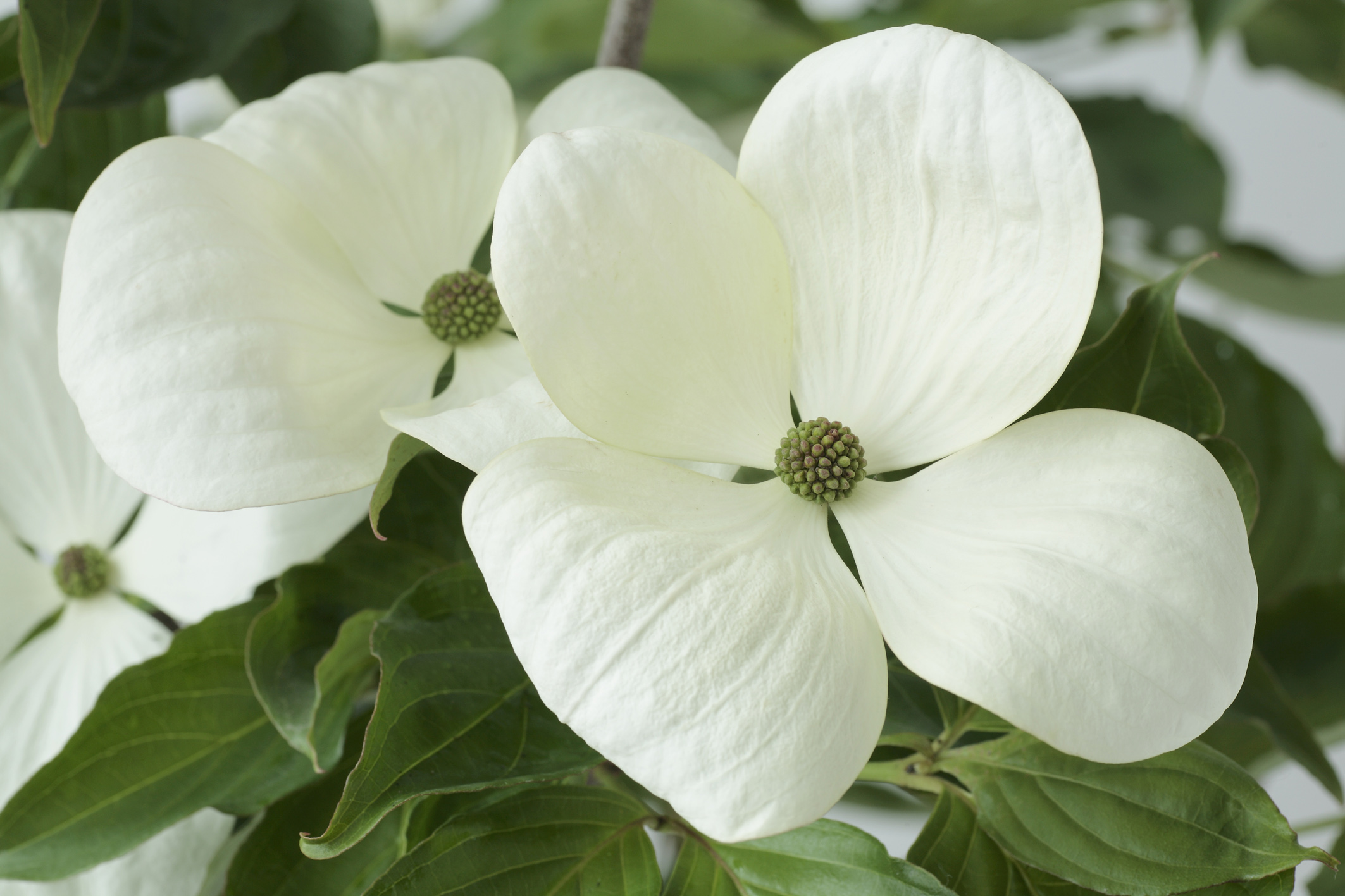 Cornus Venus, dogwood; Wolfgang Eberts Nursery at Baden-Baden, Germany
