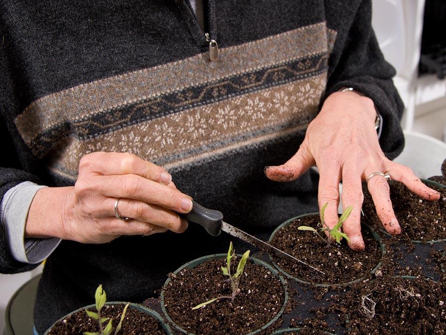 Rutgers Master Gardeners spot heirloom tomato plants.