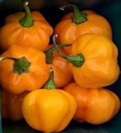 NJAES_Pumpkin_habanero_AAyeni